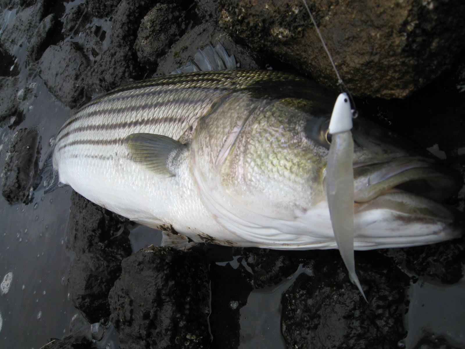 Striped bass picture for Fishing for striped bass