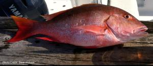 Snapper, American Red2