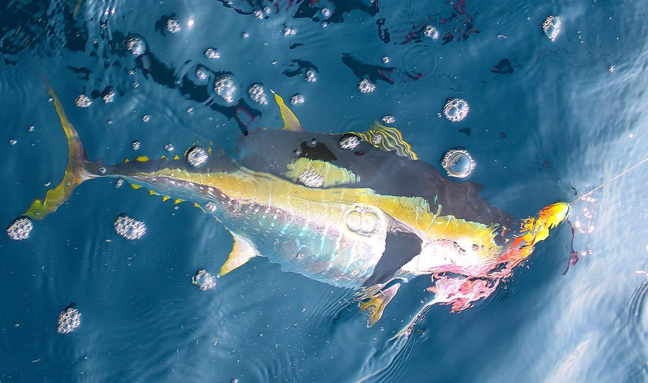 Tuna team seafoods com blog for Fishing for tuna
