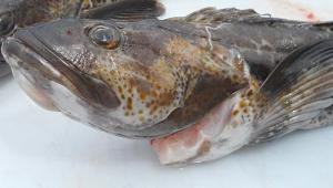 Cod Atlantic