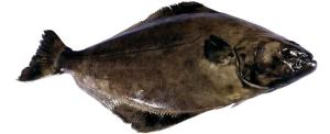 Halibut Atlantic