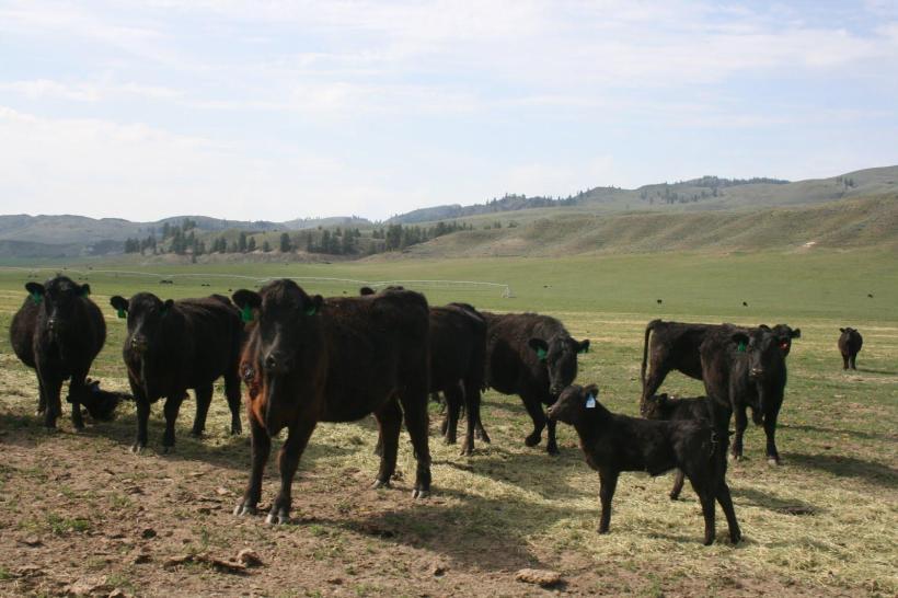 Cattle SRF