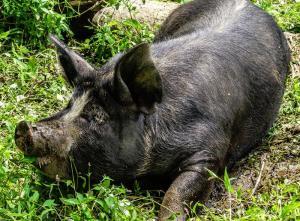 Pig Berkshire