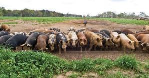 Pig Fat Back Pig Project