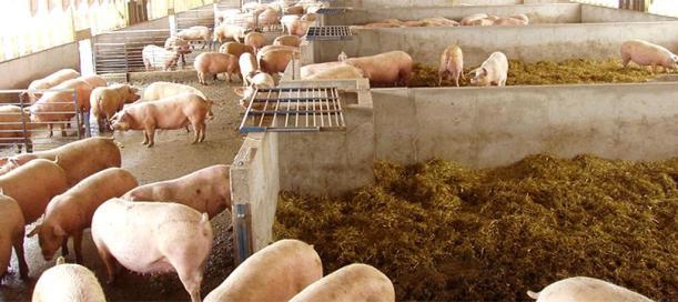 Pork Pigs Beeler