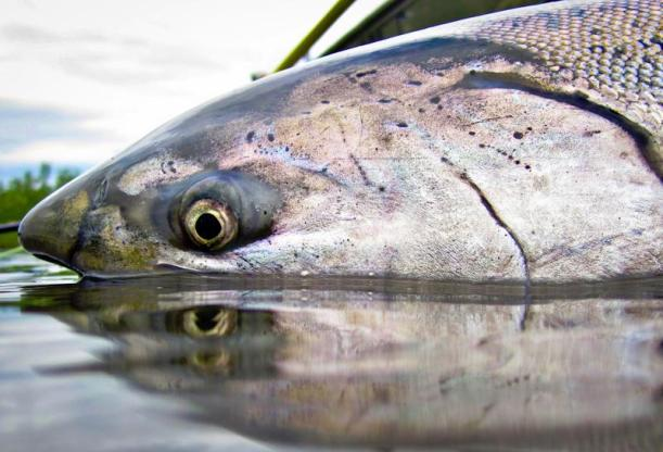 Salmon King